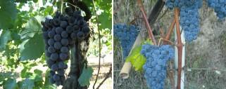 Due vitigni autoctoni laziali entrano nel Registro Nazionale