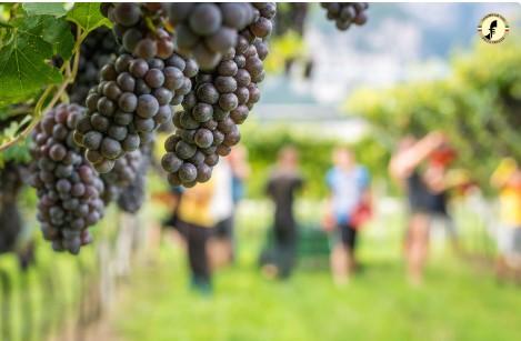 Pinot Grigio: un'ottima vendemmia