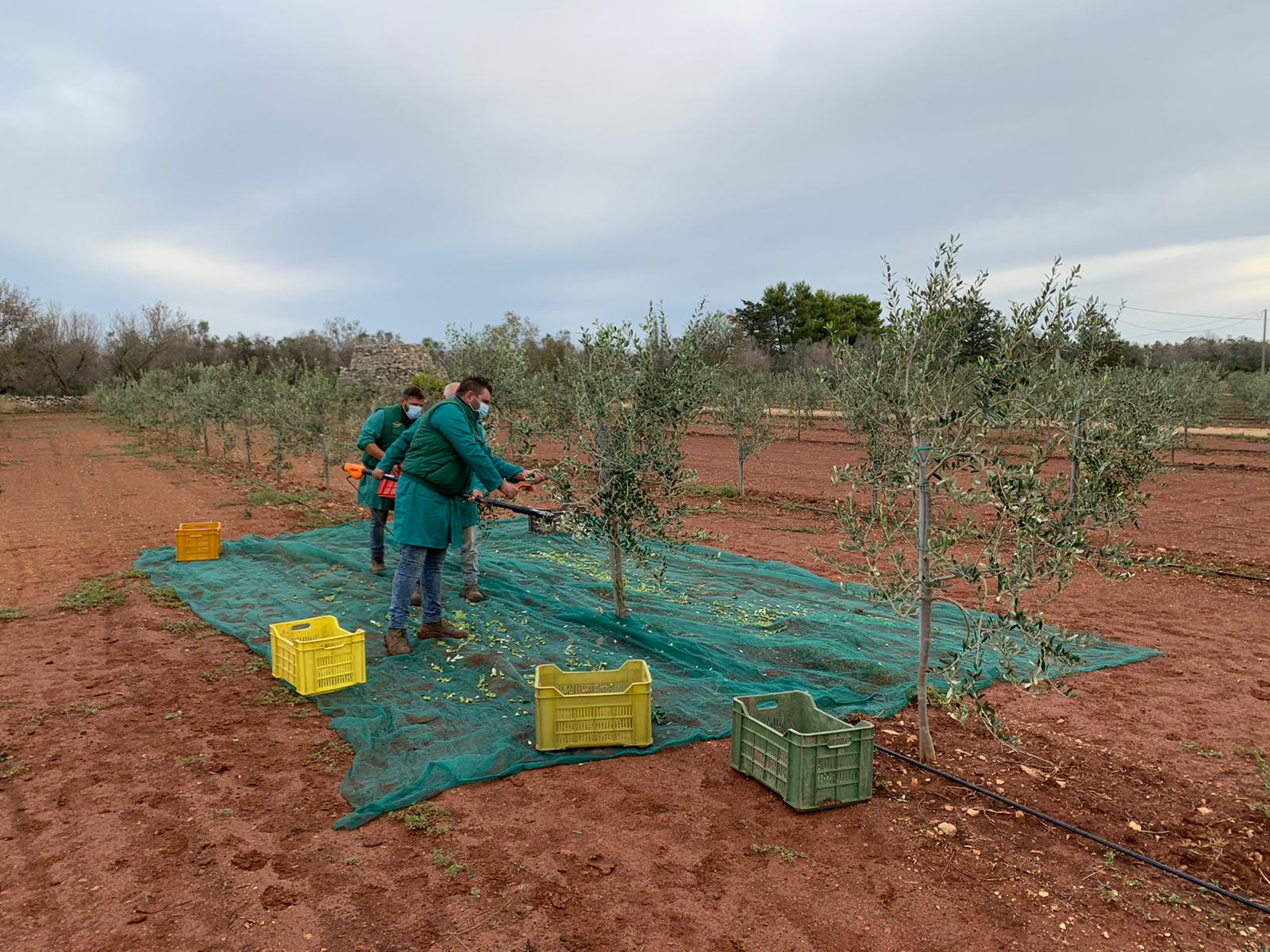 Crolla la produzione di olio extravergine d'oliva italiano ma la qualità resta eccellente