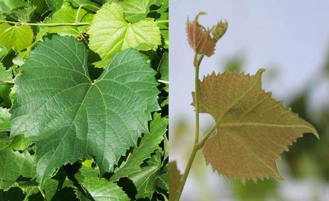 Vivaismo viticolo: un prezioso ponte tra ricerca e aziende