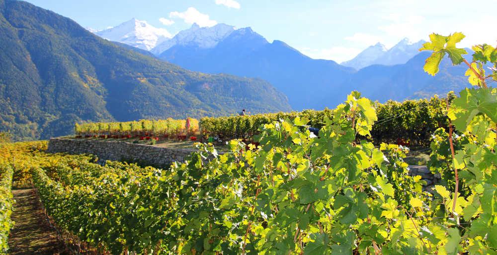 Il vino eroico della Valle d'Aosta