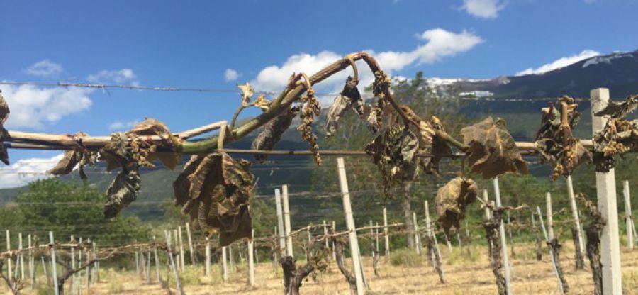 Gelata killer in Abruzzo. Città del Vino sostiene il risarcimento dei territori vitivinicoli colpiti